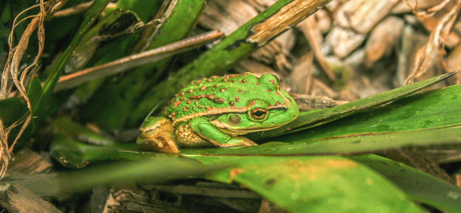A Growling grass Frog is an endangered species due to urbanisation and landscape chnage